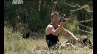 شاهد كم يستطيع الأنسان الاقتراب من الأسد القاتل ؟