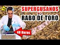 Download Video Download SUPERGUSANOS VS RABO DE TORO 48 horas | Experimentos con Mike 3GP MP4 FLV