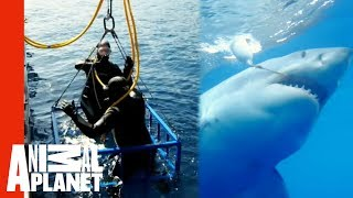 Great White Snaps Cage in Half   World