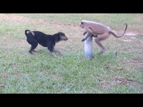 Dog vs Monkey LIVE Animal Instincts