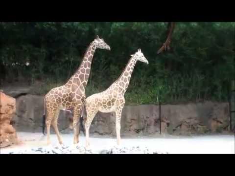 Xxx Mp4 Animal Sex Videos Giraffe Sex YouTube 3gp Sex
