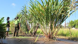 Sugarcane is not dead, just different
