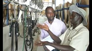 Milk extraction inside Rosedale Farm, Ilorin, Kwara State, Nigeria