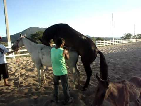 Garanhao mangalarga cruzando egua herdade x favacho