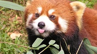 Funny red panda compilation