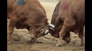 Bull Fight In Hyderabad On Friday
