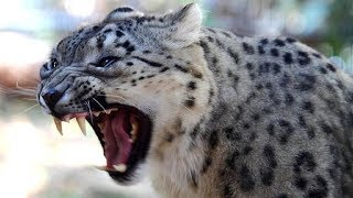 National Geographic Documentary -The Snow Leopard