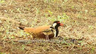 Red-wattled Lapwing and a clutch of 4 chicks perfectly camouflaged
