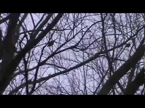 caza de zorzales y tortolas