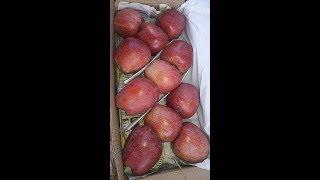 Apple Packing in Kashmir - Gift