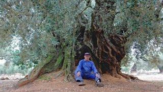 El expolio de los olivos milenarios que muestra 'El olivo'. #DíadelaTierra #22ActúoXclima