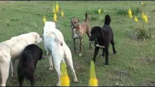 Tajik shepherd dogs in the wild