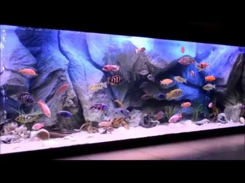 My monster cichlids fish tank with my turtle