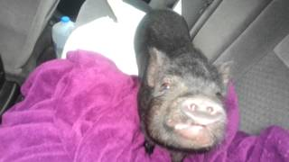Winston, the squealing pot-bellied pig