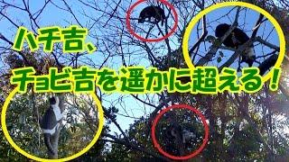 裏庭猫の木登り対決!チョビ吉を遥かに超えたハチ吉の能力!Cat Tree Climbing