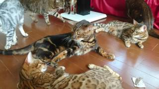 ベンガル猫軍団&ミッキー君の撮影お疲れ様マタタビ打ち上げパーティーその3