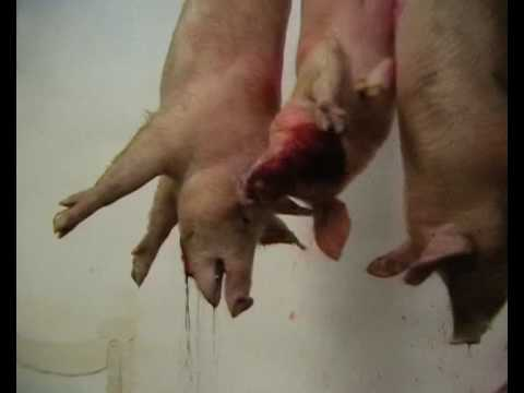 Want to see a humane slaughterhouse vid WARNING Go vegan End Animal Use