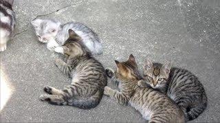 捨て猫迷子猫 アメリカンショートヘアー出産 4匹の子猫たち