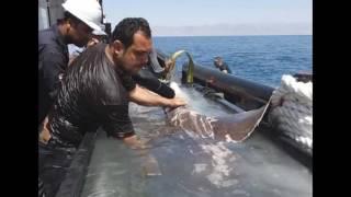 فيديو بالصور محاولات انقاذ سمكه الشمس مولا مولا