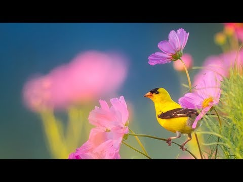 Peaceful Instrumental Music Relaxing Nature music Song Birds of Morning By Tim Janis