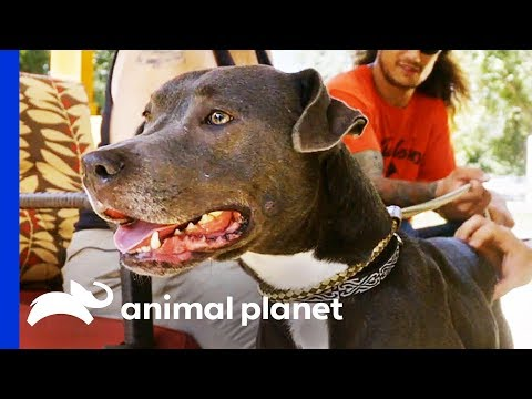 Has This Lovable Dog Finally Found Her Forever Home Pit Bulls & Parolees
