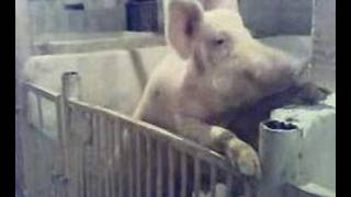 Very funny swine