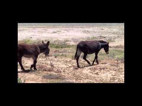 burros salvajes en tal tal