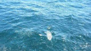 Huge Barracuda Attacks King Fish