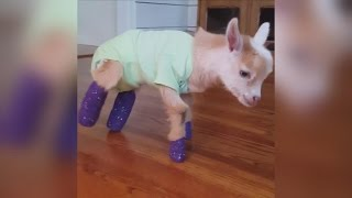 Watch a Baby Goat Born Without Hooves Learn to Walk with New Prosthetic Legs