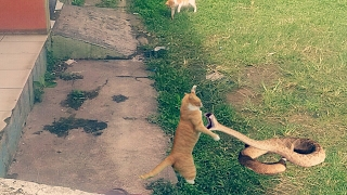 Mengerikan duel Kucing VS Ular