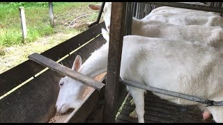 The Guatemalan Goats' Love Shack