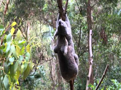 Koala sex maybe it's Koala rape