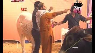 Zara Hut Kay cow purchase   YouTube