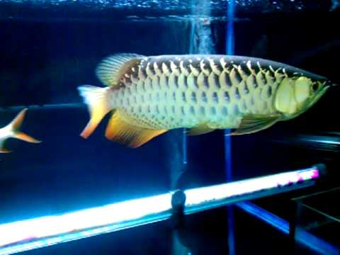 Fishy (HB Arowana) 8th march 2012