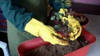 How to Grow Container Roses