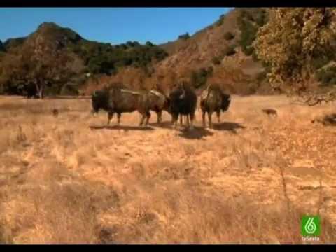 Lobos gigantes documental ESPAÑOL 1ra parte