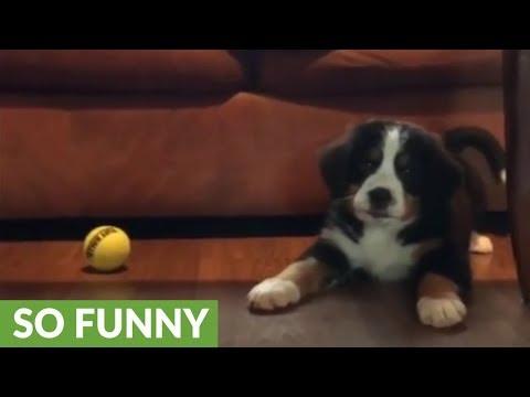 Adorable puppy shows tennis ball who's boss