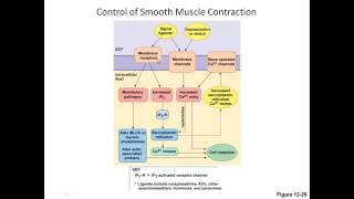Smooth Muscle Contraction and Relaxation 2