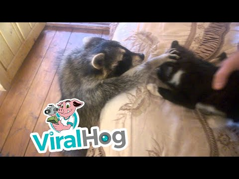 Raccoon Tries to Make Friends With Cat