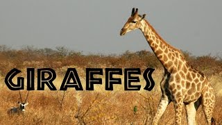 Giraffes for Kids: Learn about Giraffes - FreeSchool