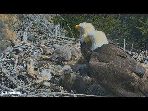 Earthquake California 5.3 Caught Live On Bald Eagle Nest Cam Sauces Channel Islands 4.5.18