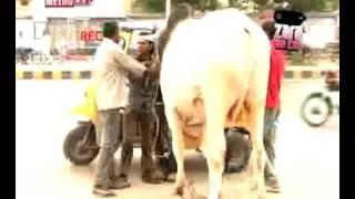 || Zara Hut Kay || Sibi Bull in rakshaw || Check it || Bakra Eid Special || Old is Gold 2011 ||