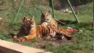 Sibirski tigrovi Križevci