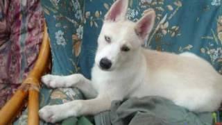 shakira - she wolf (siberian husky)