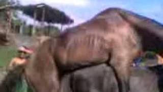 caballo xxx