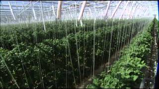 The Future of Farming: Hydroponic Tomatoes