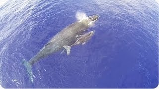 Humpback Whale Mother and Calf Captured From Above