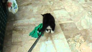Chiara: No!! I don't let you to mop up the floor !! (Siberian Husky)