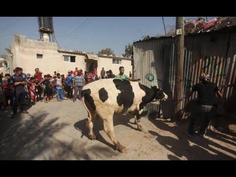عجل العيد في المزرعة..قبل الذبح..ضخم