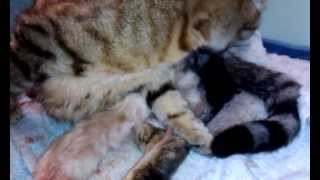 Madison giving birth to her 5th kitten